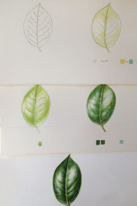 Sample of leaf work in stages
