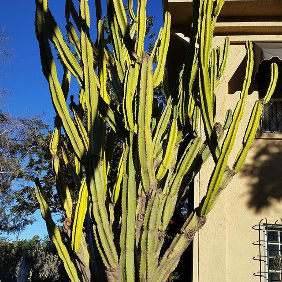 organ-pipe-cactus-virginia-robinson-gardens-beverly-hills