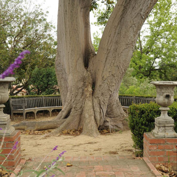 Robinson Gardens Coral Tree