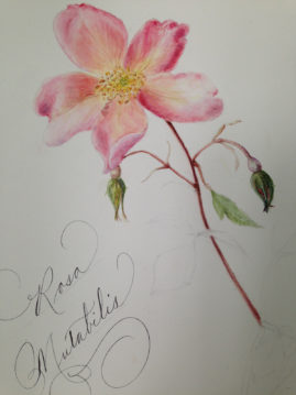 Botanical illustration created in class