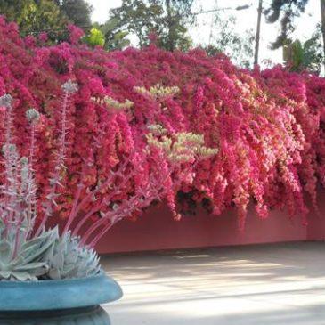 The Remarkable Bougainvillea at Robinson Gardens